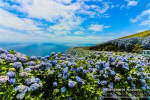 hortensien-azoren-portugal-insel-flores