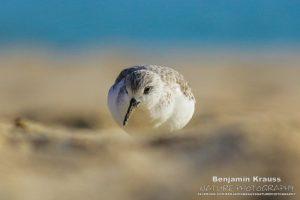 limikolen sanderling strandläufer andalusien spanien
