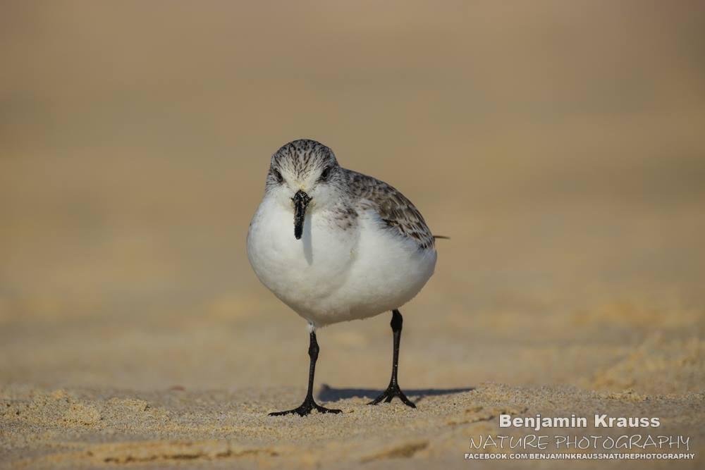 limikolen sanderling strandläufer matalascanas andalusien spanien