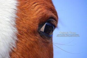 pferd-vollblut-araber-andalusien-kopf