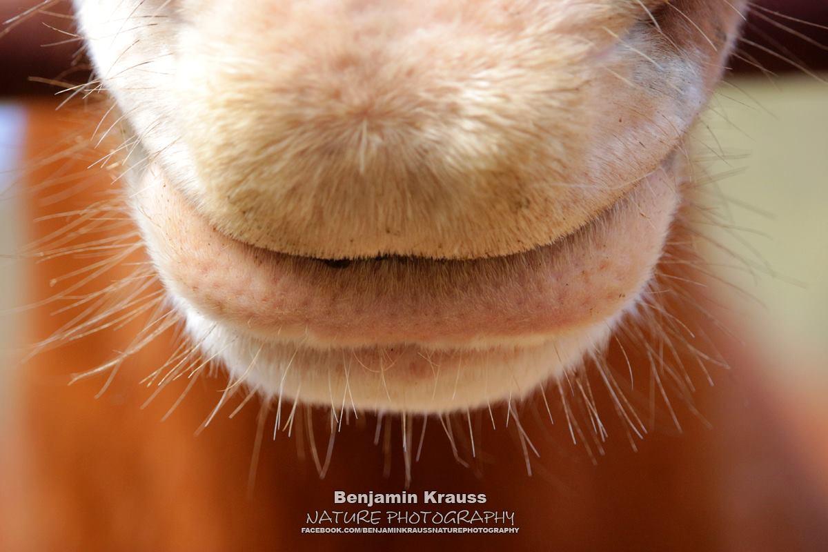 pferd-vollblutaraber-andalusien-maul