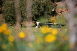 schaf-olivenhain-andalusien-finca